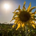 Intermezzo: Sonnenblumen