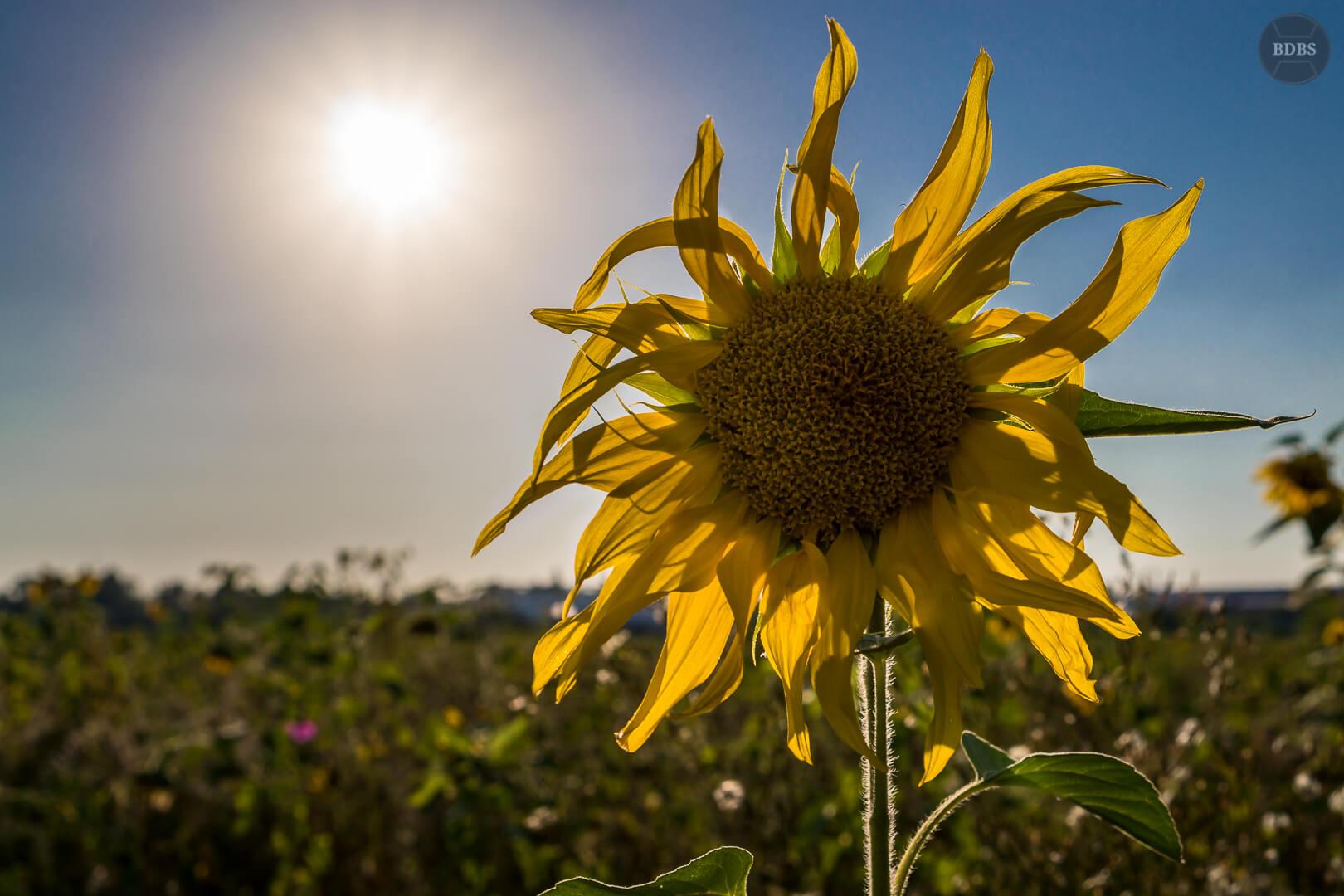Intermezzo Sonnenblume